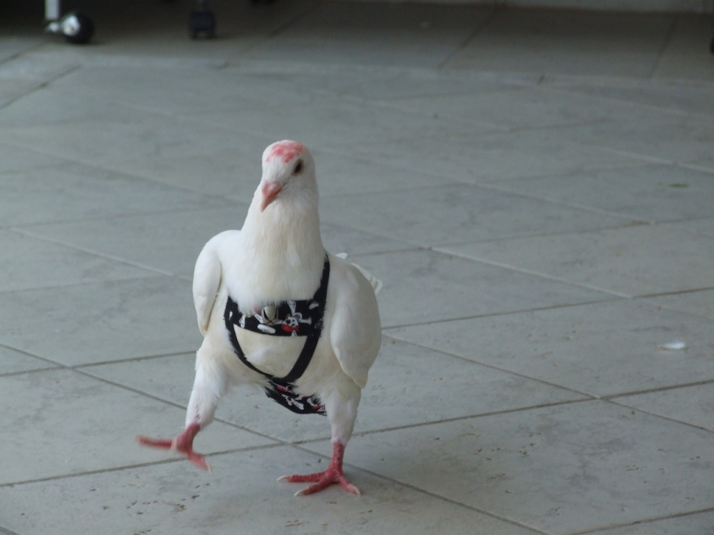 a pigeon wearing pants