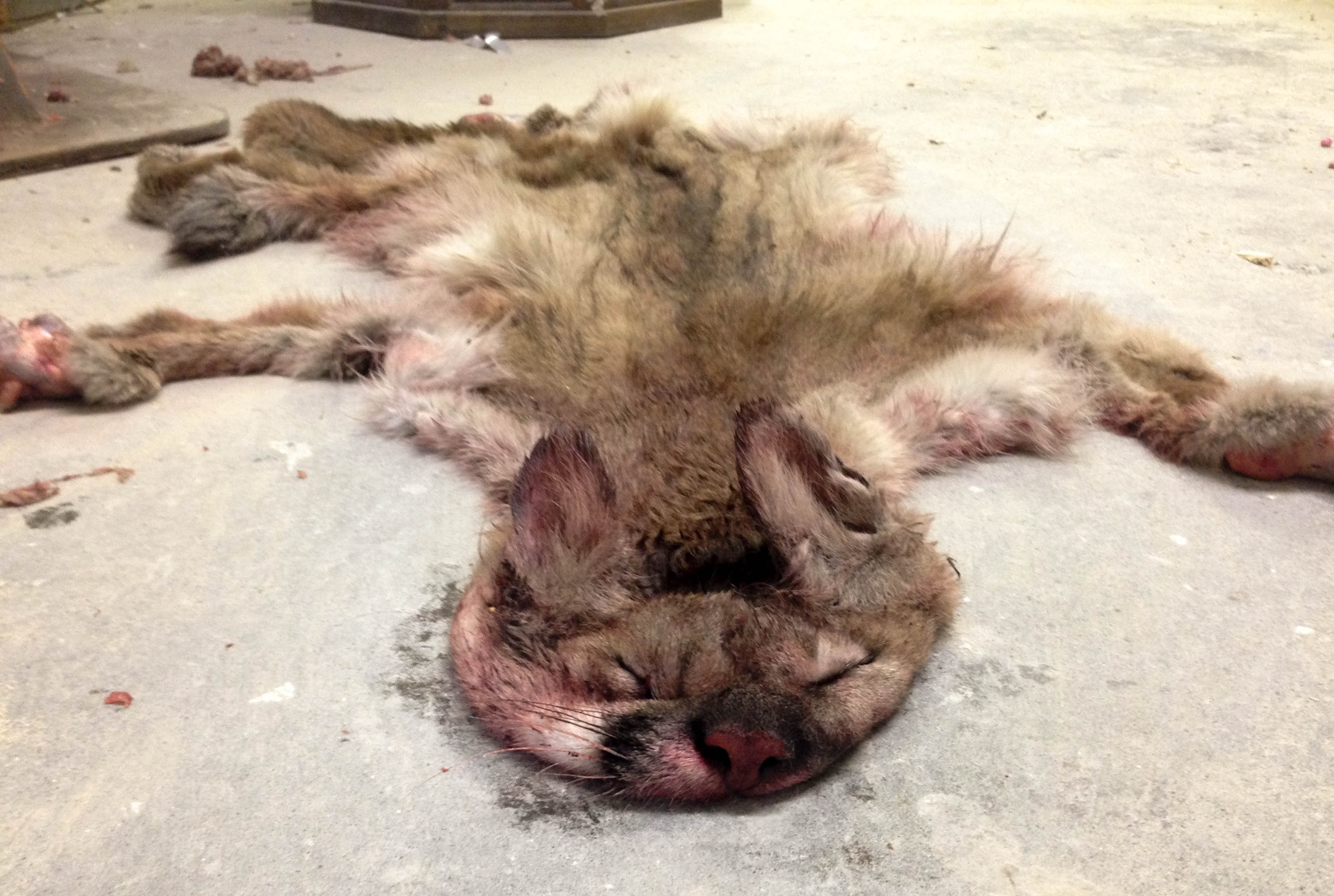 mountain lion pelt